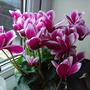 my indoors flowers3 (ciclamen coum)