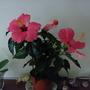 hibiscus rosa sinensis,chinese rose (Hibiscus rosa-sinensis)