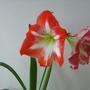 amarillys (Hippeastrum papilio)