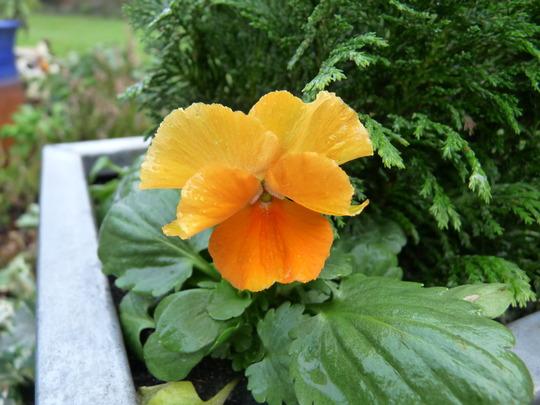 Apricot pansy (Pansy)