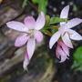 Mrs. Heggarty (Schizostylis coccinea (Kaffir Lily))