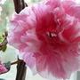 Indoor Azalia (Rhododendron ponticum (Azalia))