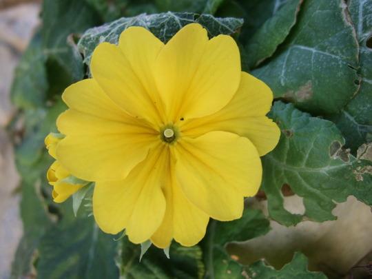 Polyanthus.