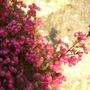 Pink_heather_3