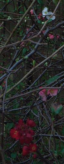 Chaenomeles (Chaenomeles japonica)