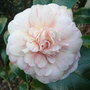 Camellia_japonica_marguerite_guillon_