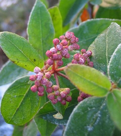 Viburnum Eve Price (Viburnum tinus)