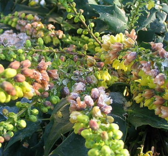 Frosty Mahonia (Mahonia japonica)