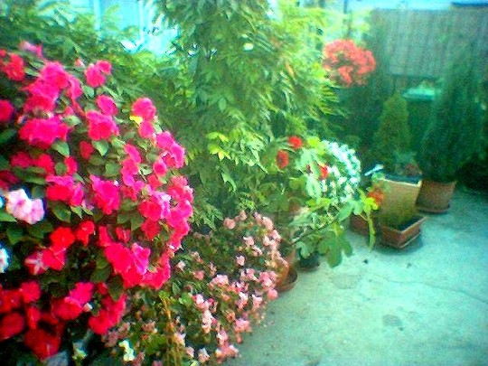 Impatiens and begonias are reliable summer colour on terrace (Impatiens)