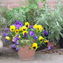 Just love pansy flowers!