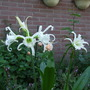 Peruvian Lily (Hymenocallis Festalis) (Hymenocallis festalis)