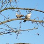 Pair Of Doves ......