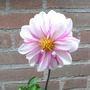 Love pink? Here is some priceless pink :-) (Dahlia)