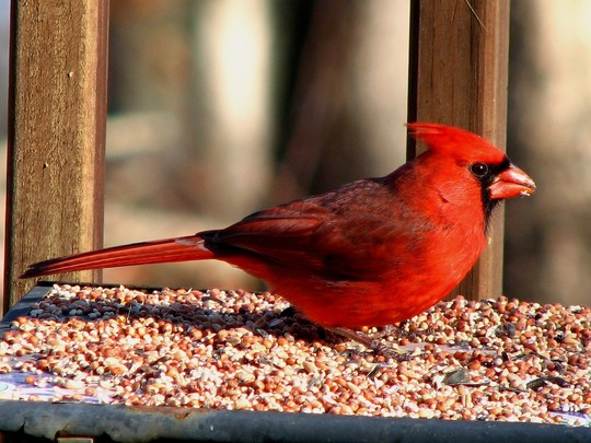 This is North Carolina's state bird, the Cardinal.