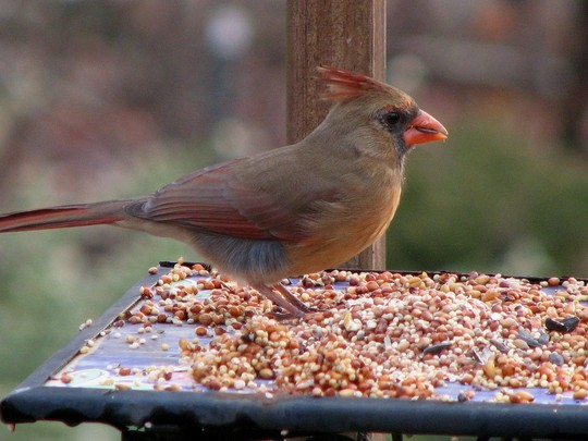 This is the female Cardinal