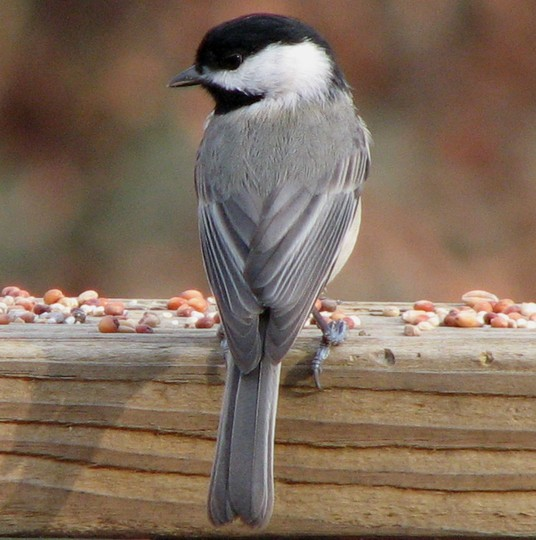 Our Chickadee