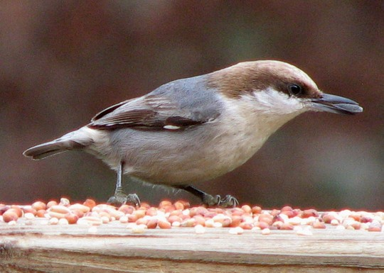 This is our brown-headed Nuthatch