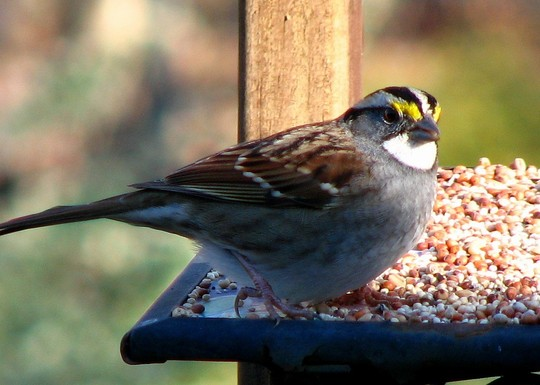 This is our white-throated Sparrow