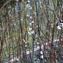 11th Feb. Pussy willow developing (Salix)