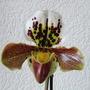 ET flower :-) (paphiopedilum)