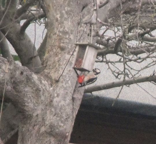 Great Spotted Woodpecker Swinging On Peanut Feeder