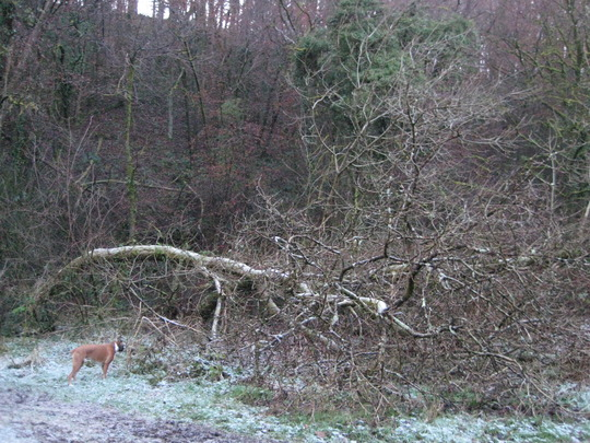Harvey investigates another fallen tree in the woods ~there seem to be a lot that have fallen lately!