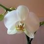orchid1.jpg (Phalaenopsis)