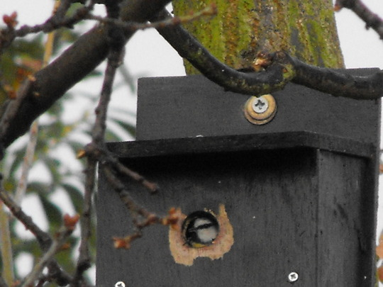 Is it safe to come out yet?   Peek-a-boo Blue-Tit