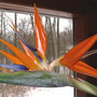 New Petals Gently Coaxed (Strelitzia reginae (Bird of paradise))