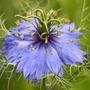 Nigella_blueflower