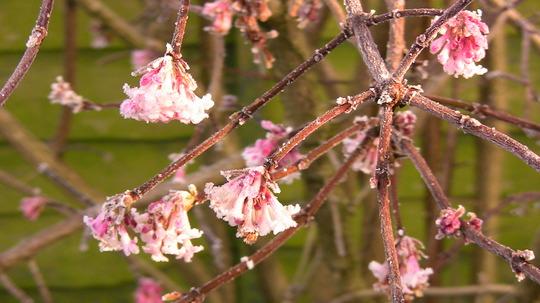 Viburnum (Viburnum bodnantense)