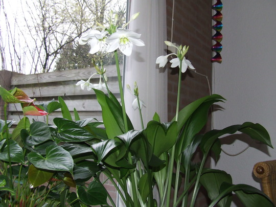 Amazon Lily (Eucharis Amazonica syn. Grandiflora) (Eucharis Amazonica (syn. Grandiflora))