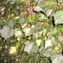 Gold Heart Ivy