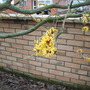 This is for Amy - Hamamelis Molllis