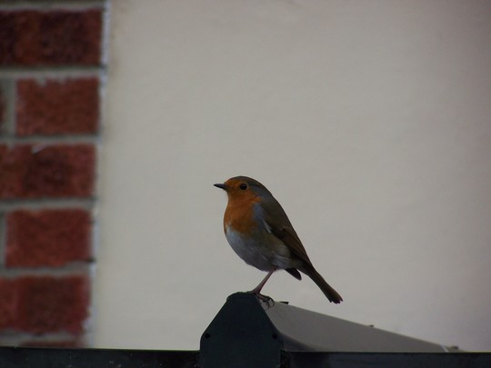 Robin On Look Out
