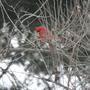 Cardinal_in_rose_of_china_tree