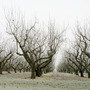 Frozen apple orchard
