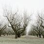 Frozen apple orchard