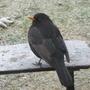 Birdschaff_wagtail_blackbird_01.09_077