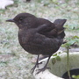Birdschaff_wagtail_blackbird_01.09_129