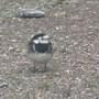 Birdschaff_wagtail_blackbird_01.09_102
