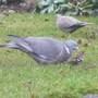 Birdschaff_wagtail_blackbird_01.09_062