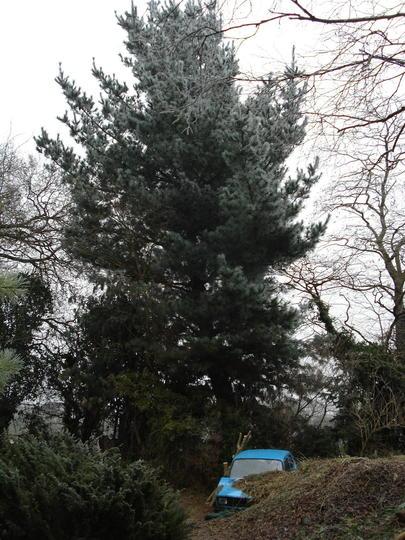 Monterey Pine (Pinus radiata)