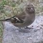Birdschaff_wagtail_blackbird_01.09_124