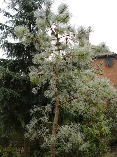 Knobcone Pine (Pinus attenuata)