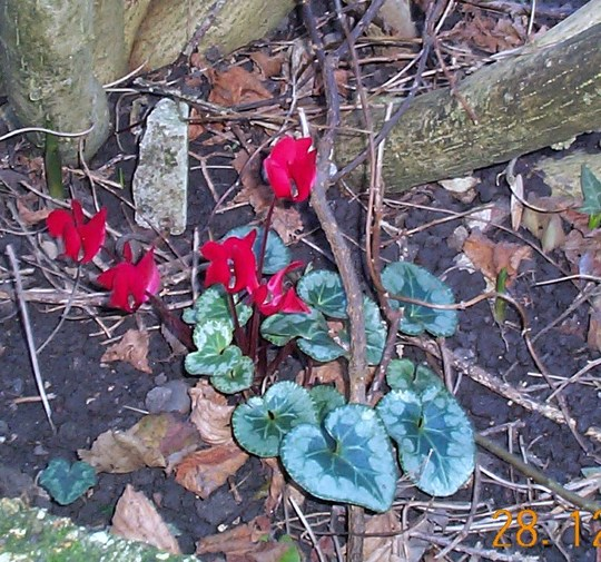 Miniature Cyclamen