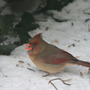 Cardinals_and_juncos_167