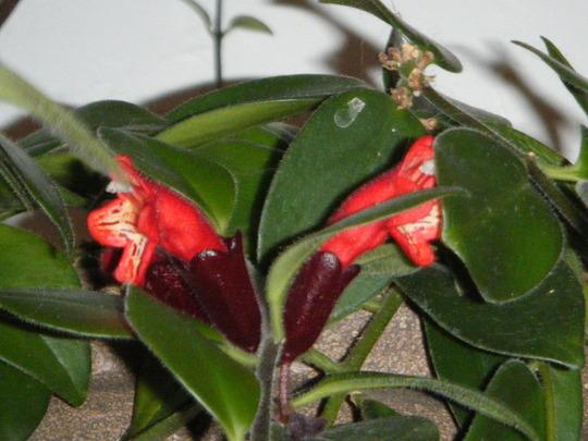 Lipstick Blooms open (Aeschynanthus radicans)