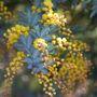 Acacia Baileyana Purpurea (Cootamundra Wattle)
