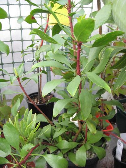 Small Protea Cynaroides